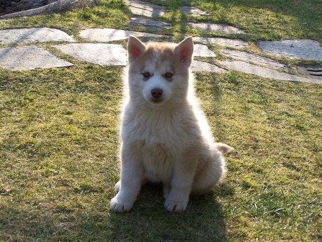 cucciolo femmina di Siberian Husky